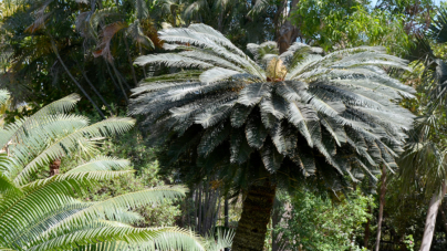 Cycada, la planta prehistórica   De la convivencia con dinosaurios a la convivencia con humanos