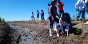 Va Conafor por reforestación de 200 hectáreas de mangle en Sinaloa