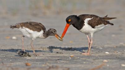 Letras sustentables | El ostrero americano, un ave playera muy sinaloense en riesgo