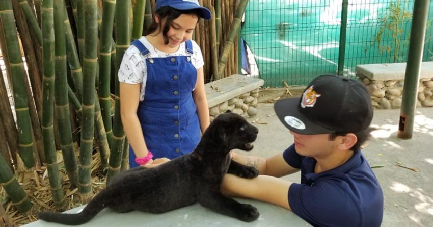 Nombran 'Coronel' a bebé jaguar del Zoológico de Culiacán; concurso genera polémica