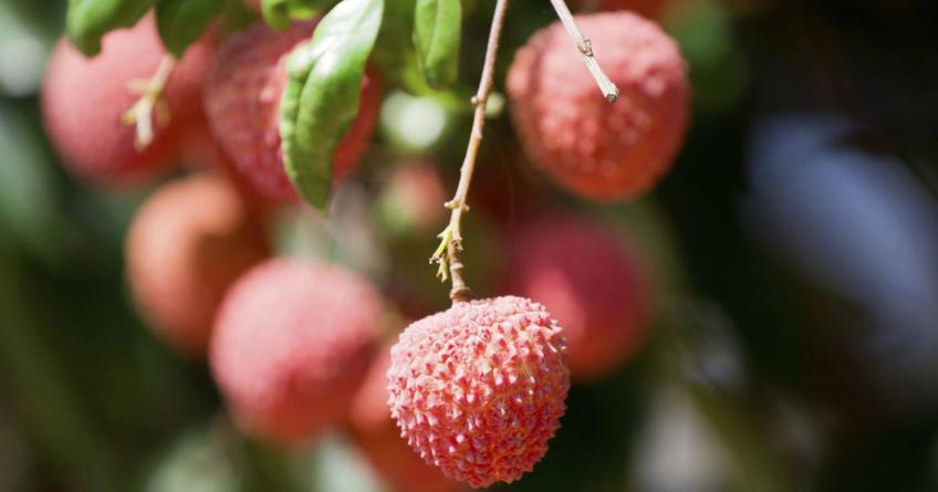 ¡Llegaron las lichis! | Sinaloa, la tierra ideal para este fruto chino