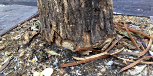 """Reemplazarán árboles talados por ciudadanos; """"los vamos a poner igualitos"""", asegura Estrada Ferreiro"""