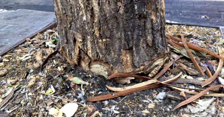 Reemplazarán árboles talados por ciudadanos; «los vamos a poner igualitos», asegura Estrada Ferreiro