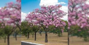 Amapa, Colorado y Manuto | Jardín Botánico de Culiacán te invita a adoptar un árbol para tu casa