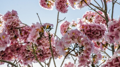 ¡Amapas para todos! | El preferido por los culichis en este Día del Árbol