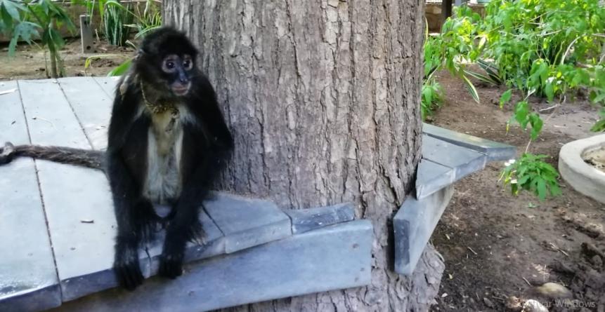 Zoológico de Culiacán recibe a monos araña rescatados del tráfico ilegal