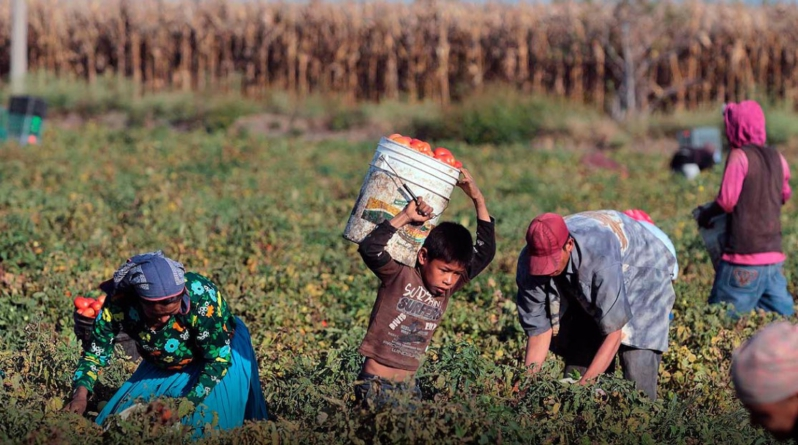 Trabajo infantil agrícola, un tema difícil de frenar en Sinaloa: Dirección del Trabajo y Previsión Social