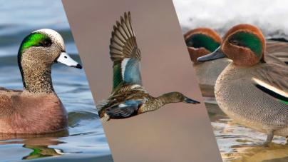 Letras sustentables | Las aves migratorias y su paso por los humedales sinaloenses