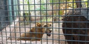 Dos 'reyes de la selva' llegan al Zoológico de Culiacán