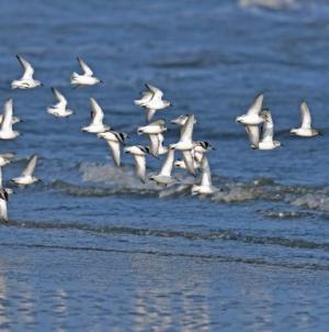 Sinaloa presenta un gran número de aves migratorias afectadas por el cambio climático