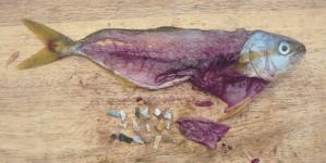 20% de los peces en México tienen plástico en sus vísceras: estudio