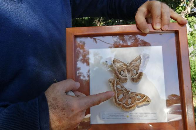Incluyen a palomilla cuatro espejos en lista de especies en riesgo