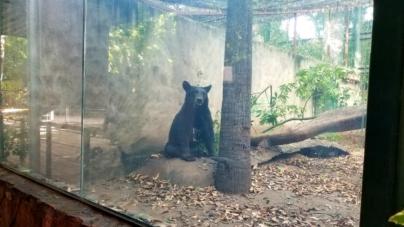Zoológico de Culiacán rescata a ejemplar de oso negro; una especie en peligro de extinción