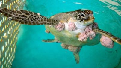 Hallan tortugas con tumores por metales pesados en costas de Guasave