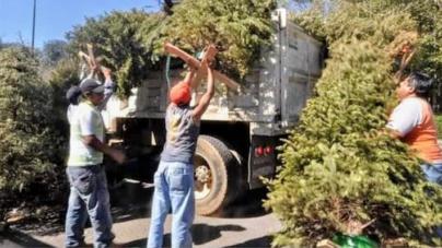 Gobierno de Culiacán recolectará árboles de navidad en centros de acopio