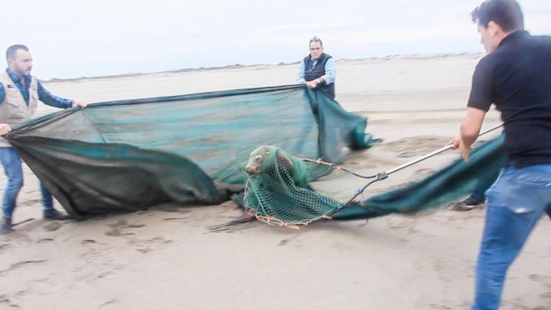 AZCARM y Zoológico de Culiacán rescatan a lobo marino malherido