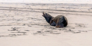 Reportan como grave a lobo marino rescatado en Guasave; no descartan daño por humanos