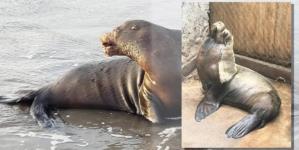 Alguien o algo atenta contra nuestros lobos marinos: AZCARM