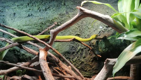 Serpiente de la exhibición de los reptiles más venenosos del mundo